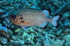 Shadow soldierfish Royalty Free Stock Photos