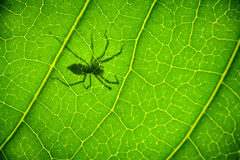 Shadow Spider on a green leaf Stock Photos