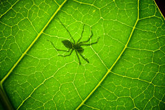 Shadow Spider on a green leaf Royalty Free Stock Photos