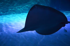 Shadow of a Stingray Royalty Free Stock Images