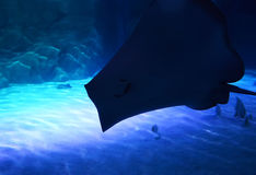 Shadow of a Stingray Royalty Free Stock Photos