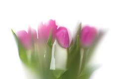 Shadow of tulip Royalty Free Stock Photos