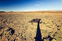 Shadow view of a beautiful quiver tree Aloe dichotoma in Fish River Canyon Nature Park in Namibia, Africa. The succulent tree is indigenous to Southern Africa Royalty Free Stock Photo