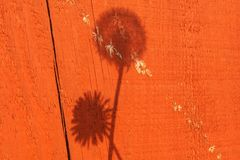 Shadow of weeds in the garden. Dandelions and dandelion clocks royalty free stock photos