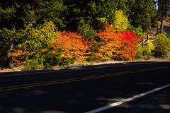 Shadowed road with fall color. Shadowed road lined with colorful maples (Acer circinatum Stock Image