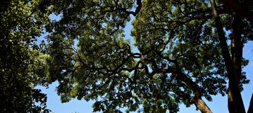In the Shadows of the Acacia Tree. Large acacia tree is the second most populous tree in the islands of Hawaii. Its canopy provides a screen from the hot sun Stock Image