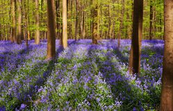 Shadows on a blue carpet. Bluebell forest on a sunny day, with large tree shadows on a blue carpet royalty free stock image