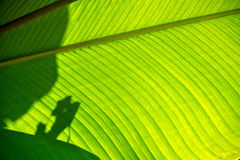 Shadows on a Broad Leaf Stock Images