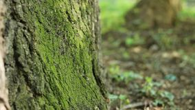 Shadows Flicker on Tree Moss. Shadows flickering on vivid green moss on tree trunk in the forest stock video footage