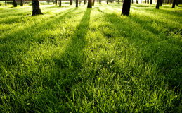 Shadows on green wet morning grass Stock Photography