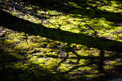 Shadows on Moss. I took an image of the shadows on the moss covered ground of the forest in Yellowstone National Park. The sun was setting and coming through the Royalty Free Stock Photography