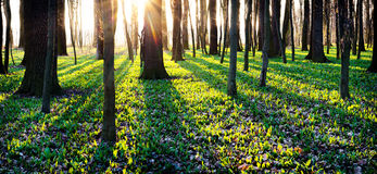Shadows Of Trees In Spring Forest Royalty Free Stock Images