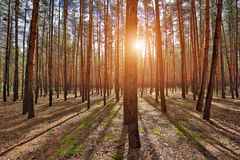 Shadows in pine forest Stock Image