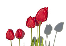 Shadows of red tulips on a white wall. Stock Images