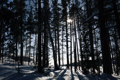 Shadows of tall trees in a winter forest Royalty Free Stock Photos