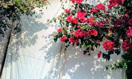 Shadowy Bougainvillea Royalty Free Stock Image