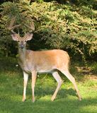 Shadowy buck Royalty Free Stock Photography
