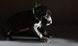 Shadowy dog Royalty Free Stock Images
