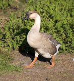 Shadowy goose Stock Photography