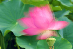 Shadowy lotus Stock Image