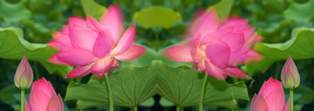 Shadowy lotus Stock Images