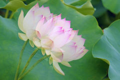 Shadowy lotus Royalty Free Stock Images