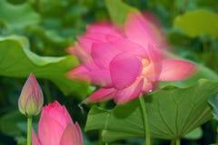 Shadowy lotus Stock Photo