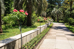 Shady alley decorated with rosebushes in the arboretum of Sochi Royalty Free Stock Photo
