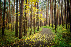 Shady autumn forest with green carpet Royalty Free Stock Image