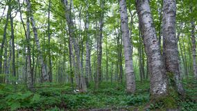 Shady birch deciduous tree forest with green leaves in the Porcupine Mountains Wilderness State Park in the Upper Peninsula of Mic. Higan royalty free stock photos