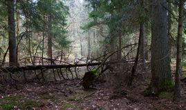 Shady coniferous stand of Bialowieza Forest in spring Royalty Free Stock Photography
