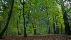 Shady deciduous mainly hornbeam stand Royalty Free Stock Photo