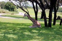 Shady Giraffe. Giraffe Rests In The Shade Stock Image