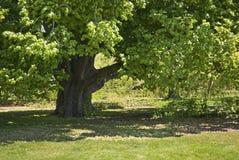 Shady Oak Stock Photo