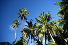 Shady palms in Fiji. The shady palms in Fiji in summer time Stock Photography