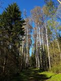 Shady path in the forest near Kaluga city with white trees, spruces, grass and bright blue sky at sunny day. Shady path forest near kaluga city white trees royalty free stock image