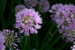 Shady Purple Round Allium Flower Royalty Free Stock Photos