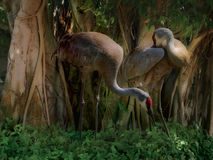 Shady Sandhill. A pair of Sandhill Cranes graze in the shadow of vine covered tropical setting Royalty Free Stock Photos