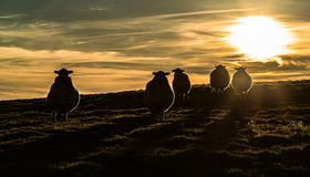 Shady Sheep. Five sheep silhouetted against the setting sun on the Glyn mountain in Rhondda, Wales Stock Image