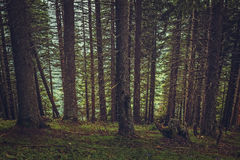Shady spruce forest Royalty Free Stock Photos