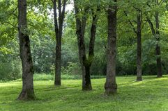 A shady summer park with trunks of tall trees, shrubs and green grass Royalty Free Stock Image