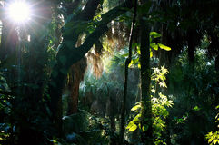 Shady sunlit  subtropical forest morning Stock Photos