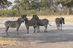 Shady Zebra's. Four burchell's zebra in the shade of a baobab tree Royalty Free Stock Photos