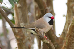 Shaft Tail Finch Stock Photos