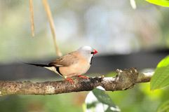 Shaft-tail Finch Bird Stock Image