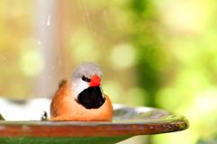Shaft-tail Finch bird in birdbath, Florida Royalty Free Stock Photos