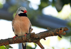 Shaft Tail Finch Stock Image