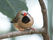 Shaft-Tail Finch Stock Image