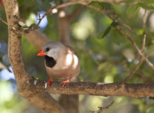 Shaft-tail Finch - Poephila acuticauda Stock Images