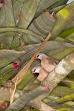 Shaft-tail Finch (Poephila acuticauda) Stock Images